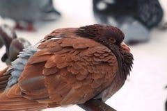 Verstoorde, bevroren, bruine duif in de sneeuw Stock Foto's