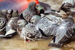 Verstoorde duiven op het ijs grijze duiven op de straat in de lente Royalty-vrije Stock Fotografie