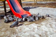 Verstoorde duiven op het ijs grijze duiven op de straat in de lente de lenteweer Stock Foto's