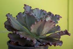 Verstoorde hybride echeveria met gele achtergrond royalty-vrije stock afbeeldingen