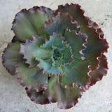 Verstoorde hybride krulecheveria royalty-vrije stock foto