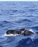 Versuchswale geben mit Schätzchen in Mittelmeer frei Lizenzfreies Stockfoto