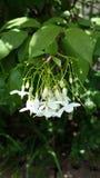Vert Asie de jardin de nature de whiteflower de fleur image stock