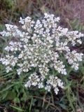 Vert d'herbe blanc de jardin d'agrément d'usine Photo libre de droits