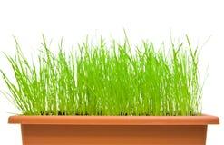 vert d'herbe d'isolement au-dessus du blanc Image libre de droits