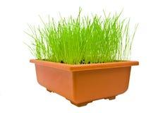 vert d'herbe d'isolement au-dessus du blanc Photos stock