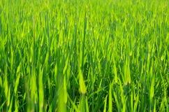Vert d'herbe de source?, frais et sain Photos libres de droits