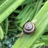 Vert d'herbe d'escargot photo stock
