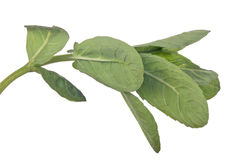 Vert d'isolement sur la branche blanche de menthe poivrée Photographie stock