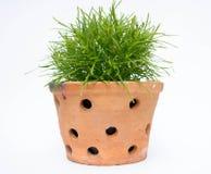 Vert dans le pot d'argile Photos stock