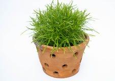 Vert dans le pot d'argile Photographie stock