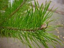 Vert de branche d'arbre de Noël, fond de Noël Image libre de droits