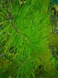 Vert de branche d'arbre de Noël, fond de Noël Photo stock
