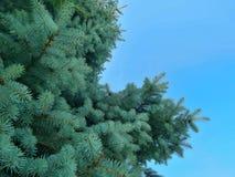 Vert de branche d'arbre de Noël, fond de Noël Image stock