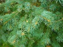 Vert de branche d'arbre de Noël, fond de Noël Photographie stock libre de droits