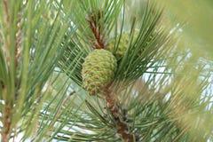 Vert de cône de pin photo libre de droits