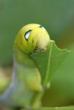 Vert de Caterpillar mangeant le plan rapproché de feuille Images libres de droits
