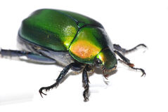 vert de coléoptère image libre de droits