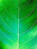 Vert de feuille Image stock