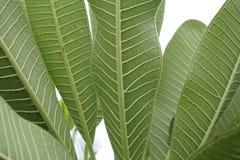 Vert de feuilles Photos stock