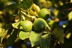Vert de fruit de citron Photo libre de droits