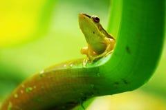 vert de grenouille photo stock