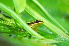 vert de grenouille images stock
