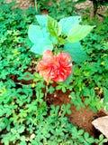 Vert de jardin de Rose de fleur beau image libre de droits