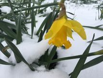 Vert de jonquille et hiver de neige photographie stock libre de droits