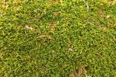 Vert de mousse avec les aiguilles impeccables image stock