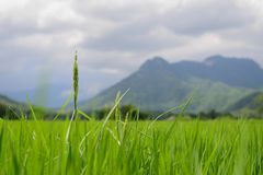 Vert de riz de champ Images libres de droits