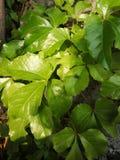 Vert vert de trésor de protection oculaire image libre de droits