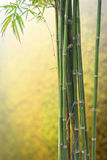 Vert en bambou frais sur Blurred Photos libres de droits