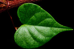 Vert en forme de coeur de détail de plan rapproché Photographie stock libre de droits