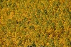 Vert et or Aspen Photographie stock