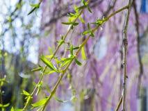 Vert et belle branche de floraison de saule Photographie stock libre de droits