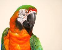 Vert et macaw d'or photo stock