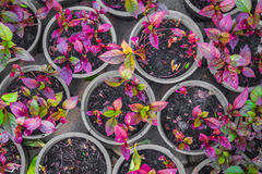 Vert et pourpre part dans beaucoup de pot de fleur Image libre de droits