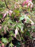 Vert et rose d'érable japonais Photo stock