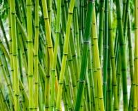 Vert forêt en bambou et forêt en bambou vibrante en Asie Images libres de droits