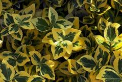 Or vert (fortunei d'Euonymus) Image libre de droits