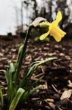Vert jaune de gouttelette d'eau de feuille de jonquille photographie stock libre de droits