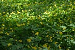Vert jaune de pré de la Russie d'été de fleurs de clairière Photographie stock libre de droits