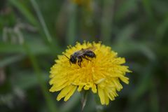 Vert jaune de pré de la Russie d'été de pissenlit d'abeille de fleurs de clairière Images libres de droits