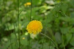 Vert jaune de pré de la Russie d'été de pissenlit de fleurs de clairière Photo stock