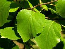 Vert juteux leafs2 Photographie stock libre de droits