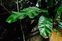 Vert mouillez les feuilles dans la jungle pendant la saison des pluies photos stock