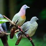 Vert-pigeon Rose-étranglé Images libres de droits