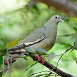 Vert-pigeon Rose-étranglé femelle Photo stock