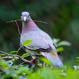 Vert-pigeon Rose-étranglé masculin Image stock